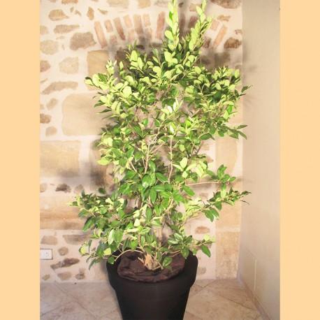 Ligustrum Texanum (Troène)